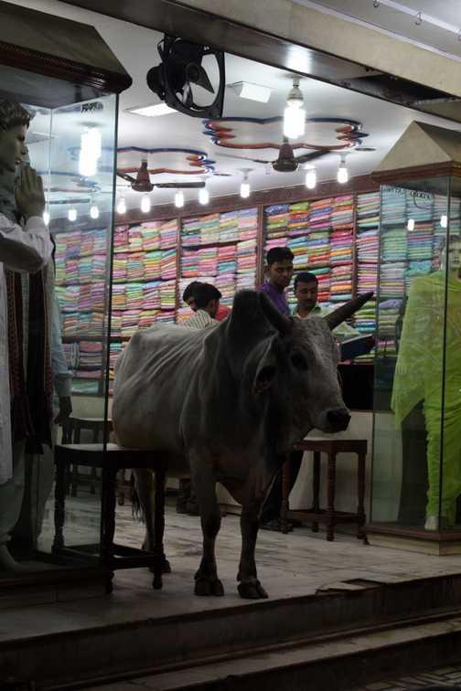 Bull in a sari shop in Varanasi