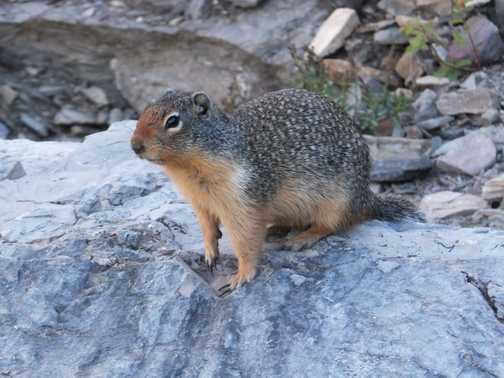 Uinta Ground Squirrel, Glacier National Park.