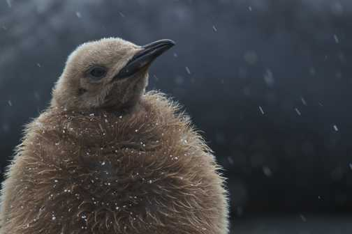 Snowy penguin chick, Gold Harbour