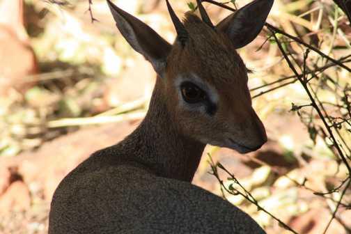The smallest of antelope, the Dik Dik