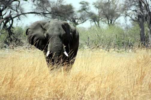 Lone bull elephant - Linyanti