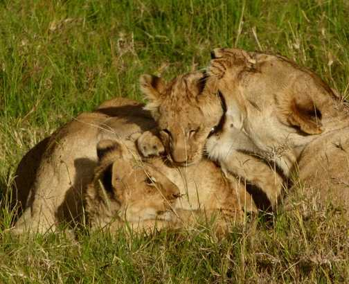 Lions relaxing 1
