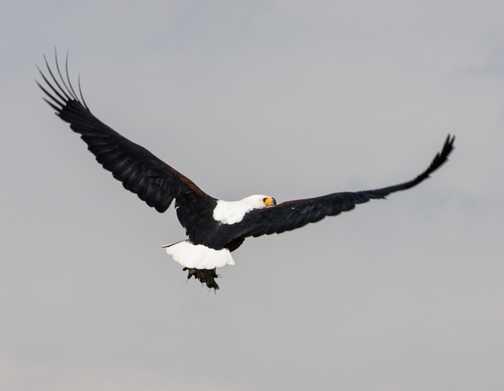 Fish Eagle at Navaisha