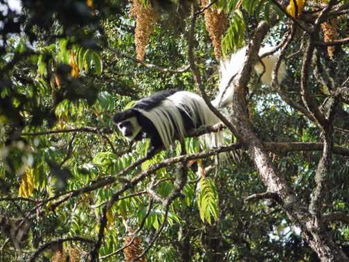 Day1. Colobus monkeys alongside the footpath.