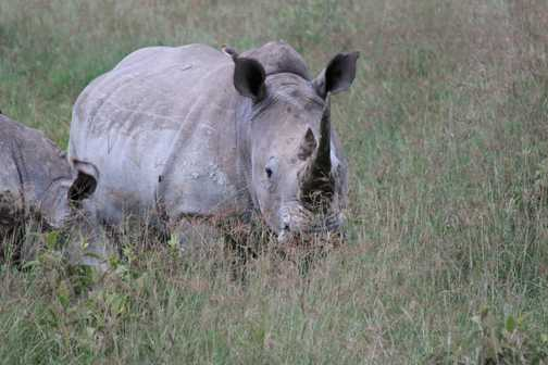 White Rhino - Lake Nakuru N.P.