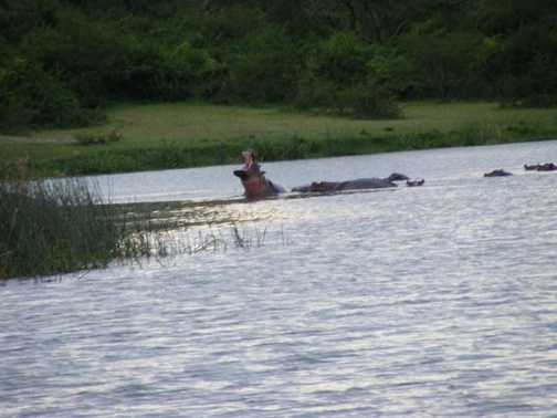 Hippo in Kazinga Channel