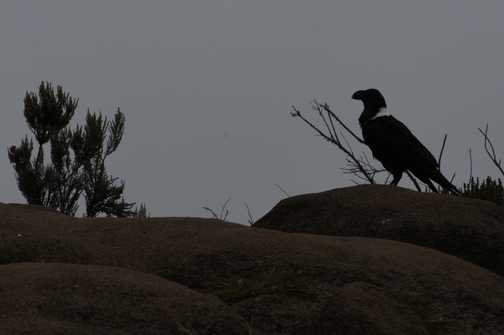 Raven - lunchtime just after the Cathedral Walk!
