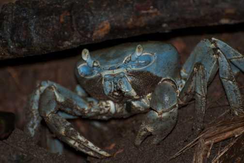 Crab at Tortuguero