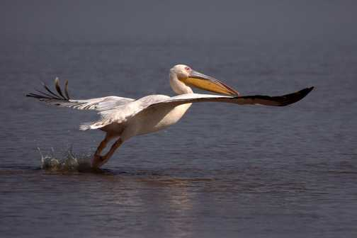 Pelican on Lake Nakuru