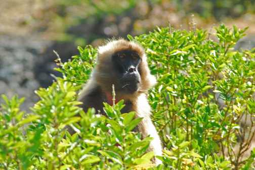 Gelada Monkeys