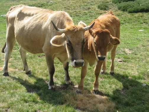 Gascogny cattle
