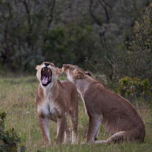 Yawning, Masai Mara