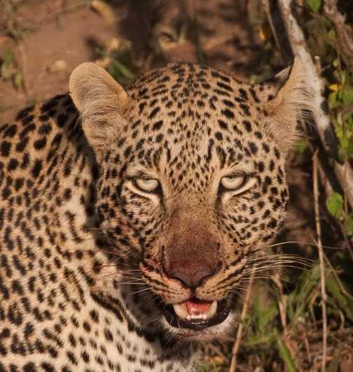 blood leopard