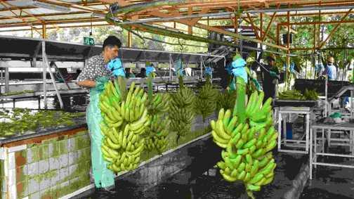 Banana packing station
