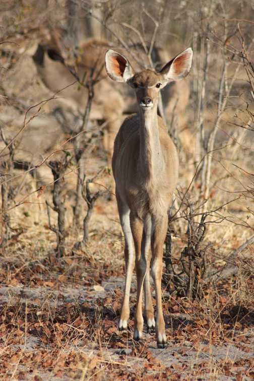 Young female kudu - Linyanti