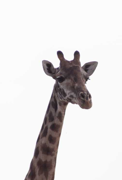 Giraffe - up close and personal