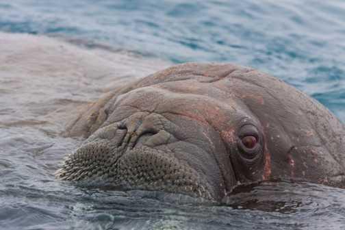 Walrus Close Encounter