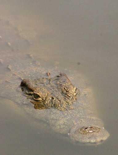 S Africa - Croc