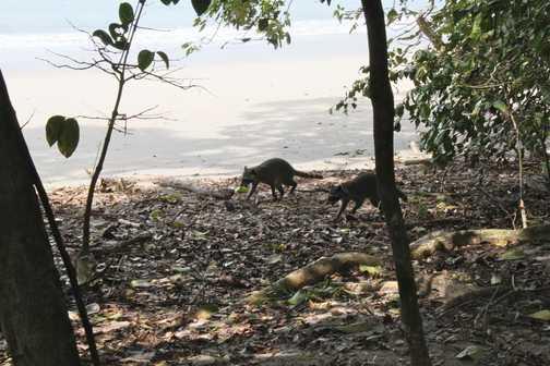 racoons on the beach, Manuel Antonio NP