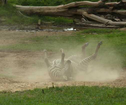 Zebra dustbath