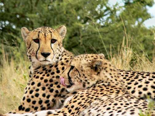 Cheetahs at Africat 1