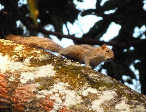 Palm Squirrel 2