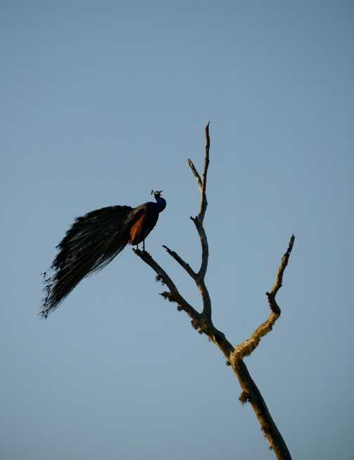 tree-climbing peacock