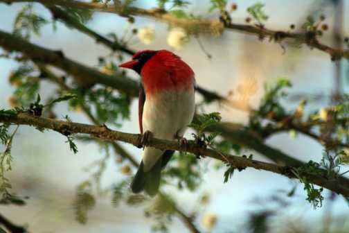 Red Headed Weaver @ Lake Naivasha
