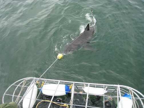 Go shark go!