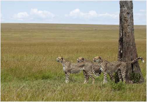 Cheetah Brothers
