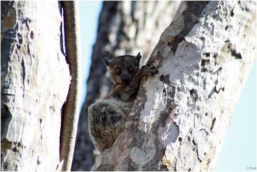 Rare sight of a night lemur