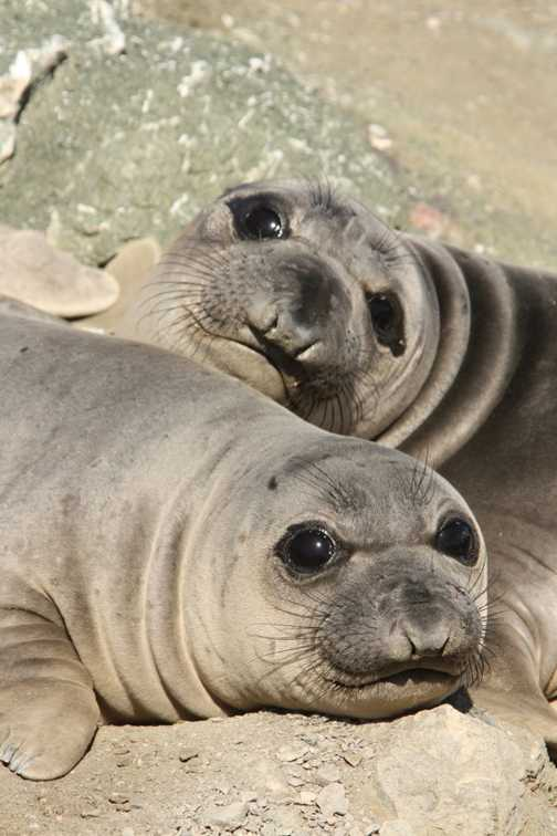 Pair of young Eli seals