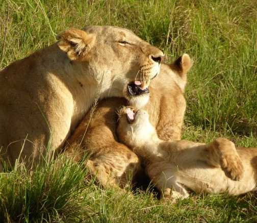 Lions relaxing 2