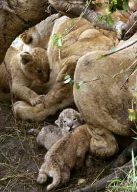 lion cubs: one is just 1 day old.