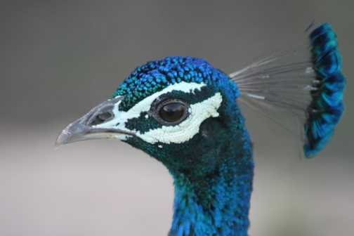 Peacock at Ranthambore