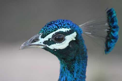 Peacock at Ranthambore
