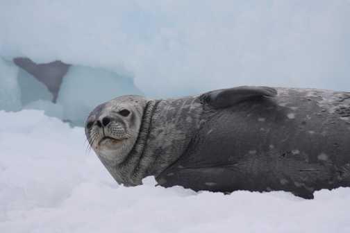 Antarctic Tern: Grytviken - South Georgia