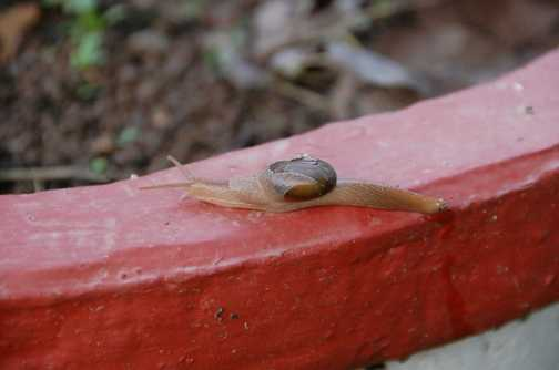 A strange snail at Mandi