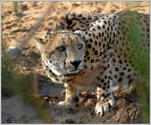 Male Cheetah - Edeni