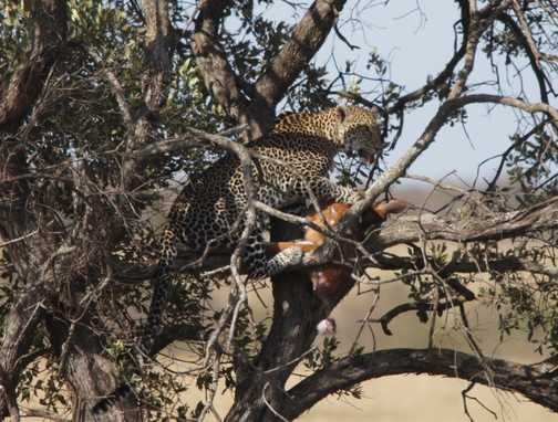 Leopard with kill