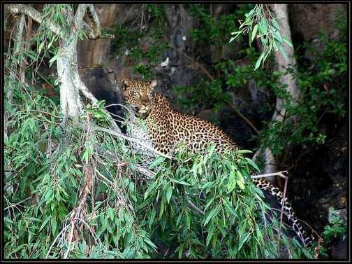 Leopard at Nakuru Kenya