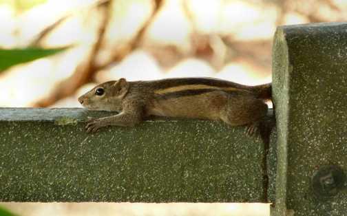 Palm Squirrel 1