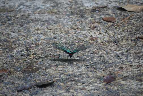 Black-blue butterfly