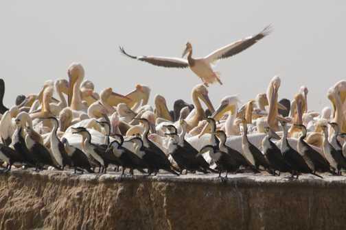 White-breasted cormorants, Djoudj N.P.