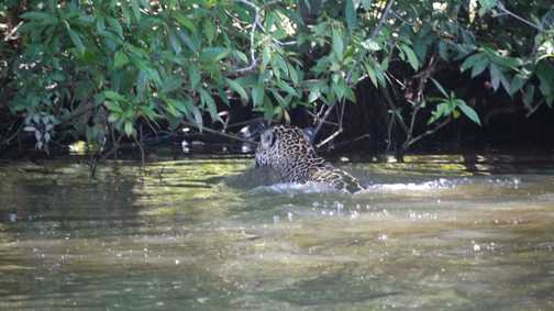 Jaguar swimming across canal in front of boat