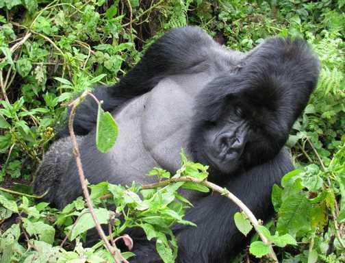 3. Silverback gorilla