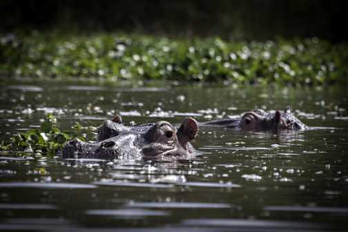 Hippo in Navaisha