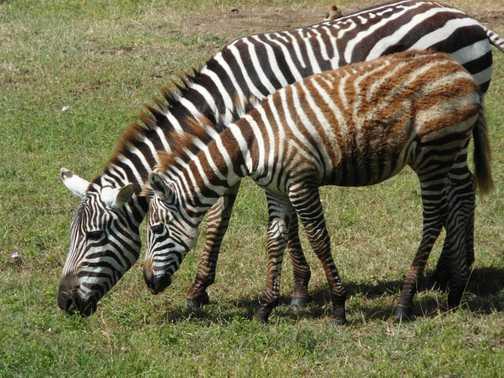 Lake Nakuru ... zebra and young