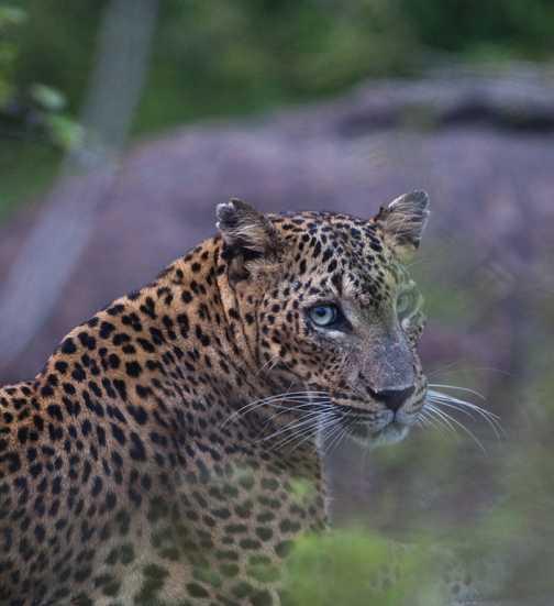 Leopard 1