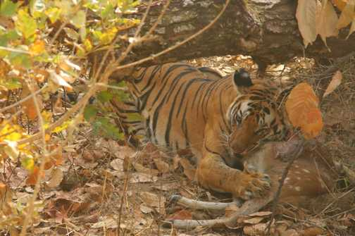 Bengal Tiger enjoys its meal in the shade